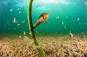 Lined seahorse (Hippocampus erectus) holding onto a red mangrove shoot in a land locked alakaline lagoon on Eleuthera, Bahamas. - Shane Gross