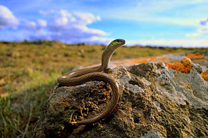 Striped legless lizard (Delma impar) female, in volcanic plain near Reedesdale in central Victoria, Australia. - Robert Valentic