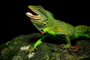 Chinese water dragon (Physignathus cocincinus) male from a small stream flowing through karst rainforest within the Phong Nha-Ke Bang National Park, central Vietnam. Dry season. - Robert Valentic
