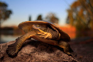 Murray river turtle (Emydura macquarii) basking at dusk, Yan Yean Reservoir, Melbourne, Australia. - Robert Valentic