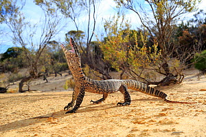 Heath Monitor (Varanus rosenbergi) male enacting a threat display, in mallee/heath habitat near Pinnaroo, South Australia.  -  Robert Valentic