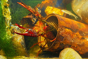 Red swamp crayfish (Procambarus clarcki), invasive species, captive, Italy, July.  -  Fabio Pupin
