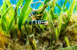 A Banded sea krait (Laticauda colubrina) searches a seagrass bed for food, off North Sulawesi, Indonesia.  -  Shane Gross