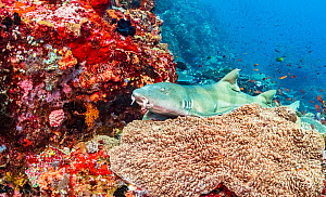 Brown banded bamboo shark (Chiloscyllium punctatum) rests on a pristine coral reef, near Alor, Indonesia. - Shane Gross