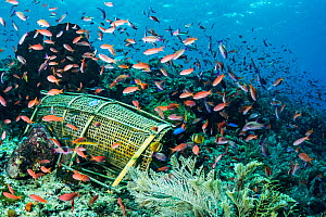 Traditional bamboo fish trap on a busy coral reef near Alor, Indonesia. - Shane Gross