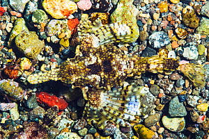 Sea moth / dragonfish (Eurypegasos draconis) camouflaged on the seabed, near Alor, Indonesia.  -  Shane Gross