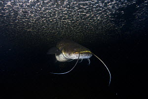 Wels catfish (Silurus glanis) eating Mayflies (Ephoron virgo), dead at the surface of water because of public lighting. Tarn River, France, August.  -  Cyril Ruoso
