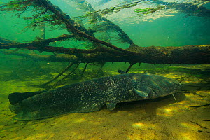 Wels catfish (Silurus glanis) Loire river, France. November.  -  Cyril Ruoso