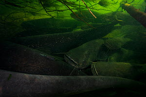 Wels catfish (Silurus glanis) group gathered in river bed. Loire river, France. November.  -  Cyril Ruoso