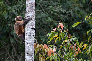 Guianan brown capuchin (Sapajus apella), exploring a hole in a palm tree for insects, Madidi NP, Bolivia - Bernard Castelein
