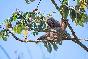Brown-throated sloth ( Bradypus variegatus), between Rurrenabaque and Sancta Rosa, Bolivia  -  Bernard Castelein
