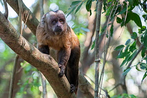Guianan brown capuchin, (Sapajus apella), walking up branch, Municipal protected area of Pampas del Yacuma, Bolivia - Bernard Castelein