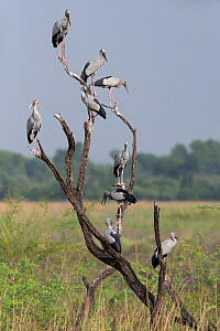 Asian openbill ( Anastomus oscitans) group perched on branch, Keoladeo NP, Bharatpur, India  -  Bernard Castelein