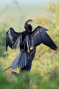 Darter ( Anhinga melanogaster) drying wings, Keoladeo NP, Bharatpur, India - Bernard Castelein