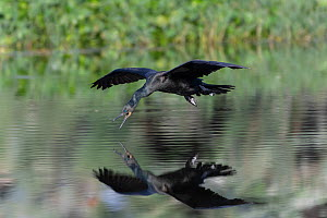 Indian cormorant (Phalacrocorax fuscicollis) flying close to the water surface intending to dip water and bringing it to the chicks in its nest, Keoladeo NP, Bharatpur, India - Bernard Castelein