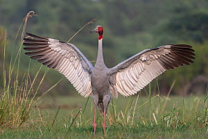 Sarus crane (Grus antigone), male displaying, Keoladeo NP, Bharatpur, India - Bernard Castelein