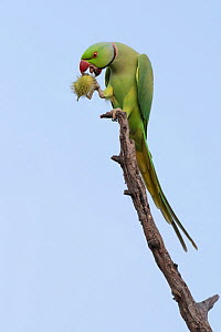 Rose-ringed parakeet, (Psittacula krameri), male, perched eating wild fruit, Keoladeo National Park, Bharatpur, India - Bernard Castelein