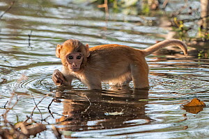 Rhesus macaque (Macaca mulatta), juvenile, crossing shallow water hole in search of edible plants or roots, Keoladeo NP, Bharatpur, India - Bernard Castelein