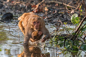 Rhesus macaque, (Macaca mulatta), female and juvenile, crossing shallow water hole in search of edible plants or roots, Keoladeo National Park, Bharatpur, India - Bernard Castelein