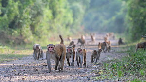 Rhesus macaque (Macaca mulatta), large group on the move, Keoladeo NP, Bharatpur, India  -  Bernard Castelein