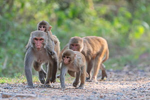 Rhesus macaque (Macaca mulatta), mixed group of female and juveniles, walking along a track, Keoladeo National Park, Bharatpur, India - Bernard Castelein