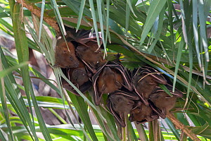 Short-nosed fruit bat, (Cynopterus sphinx), sheltering under leaves, Keoladeo National Park, Bharatpur, India - Bernard Castelein