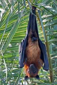 Indian Flying Fox (Pteropus giganticus) male roosting in tree, Keoladeo NP, Bharatpur, India  -  Bernard Castelein