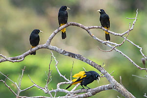 Yellow-rumped cacique (Cacicus cela), group of four perched, MadidiNP, Bolivia - Bernard Castelein