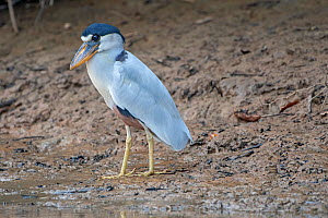 Boat-billed Heron (Cochlearius cochlearius), Pampas del Yacuma Protected Area, Bolivia  -  Bernard Castelein