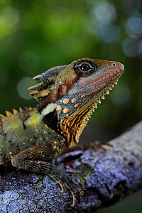 Boyd's forest dragon (Lophosaurus boydii) male, Mossman Gorge in NE Queensland, Australia. Summer. - Robert Valentic
