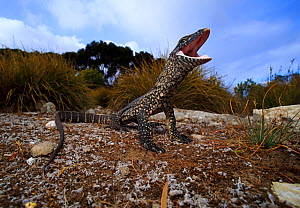 Heath monitor lizard (Varanus rosenbergi) in threat display responding to a perceived threat. Baudin Beach, Kangaroo Island, South Australia. - Robert Valentic