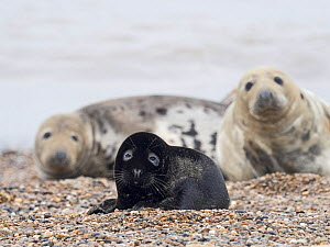 Rare melanistic Grey seal (Halichoerus grypus) pup, Horsey, Norfolk. Less than one in 400 pups born annually are melanistic, usually the pups are a creamy white in colour. - David Tipling
