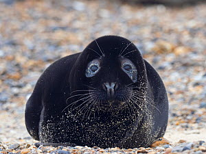 Rare melanistic Grey seal (Halichoerus grypus) pup, Horsey, Norfolk, England, UK, February. Less than one in 400 pups born annually are melanistic, usually the pups are a creamy white in colour. - David Tipling