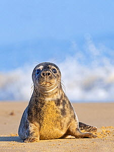 Grey seal (Halichoerus grypus) pup, Horsey, Norfolk, England, UK, February.  -  David Tipling