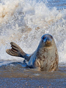 Grey seal (Halichoerus grypus) female in surf, Horsey, Norfolk, England, UK, February. - David Tipling