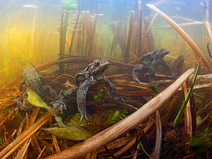 Common toad (Bufo bufo) three underwater in pond among reeds during breeding season, North Norfolk, England, UK. March. - David Tipling