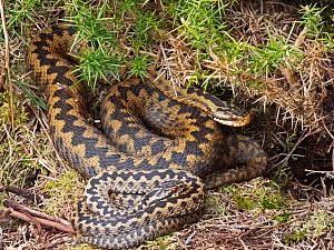 Common European adder (Vipera berus) male and female warming up in sun trap on heath, Holt, North Norfolk, England, UK. March.  -  David Tipling