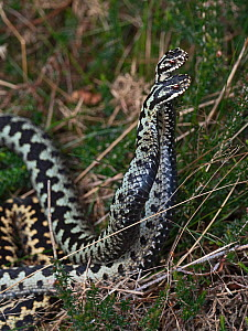 Common European adder (Vipera berus) two males fighting over a female, Holt, North Norfolk, England, UK. April. - David Tipling