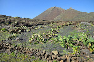 Walled fields of Prickly pear / Barbary fig (Opuntia ficus-indica) on volcanic soil, formerly harvested for Cochineal insects (Dactylopius coccus), with Monte Corona volcanic peak in the background, n... - Nick Upton
