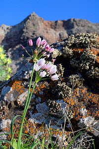 Rosy garlic (Allium roseum), flowering below Famara cliffs, Lanzarote, Canary Islands, February.  -  Nick Upton