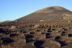 Grape vines growing on land covered with volcanic ash 'lapilli' protected from wind by low, curved walls 'zocos', La Geria region, Lanzarote, Canary Islands, February 2018.  -  Nick Upton