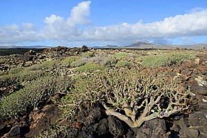 Balsam spurge / Sweet tabaiba (Euphorbia balsamifera) bushes growing on ancient lava flows with Monte Corona volcanic peak in the background, Malpais de la Corona, Lanzarote, Canary Islands, February.  -  Nick Upton