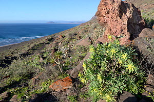King Juba's spurge (Euphorbia regis-jubae) and Balsam spurge (Euphorbia balsamifera), flowering below Famara cliffs, Lanzarote, Canary Islands, February.  -  Nick Upton