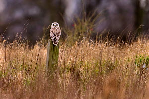 Short-eared owl (Asio flammeus) perched on wooden post in rough grassland. Durham, UK. February - Oscar Dewhurst