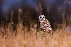 Short-eared owl (Asio flammeus) perched on wooden post in rough grassland, Durham, UK. February. Cropped - Oscar Dewhurst