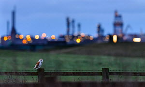 Barn owl (Tyto alba) perched on fence post at dusk, with industrial estates of Teeside in the background. Durham, UK. February  -  Oscar Dewhurst