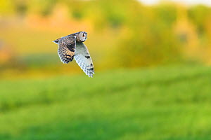 Long-eared Owl (Asio otus) in flight over farmland. Durham, UK. May - Oscar Dewhurst