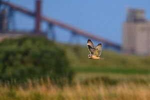 Short-eared owl (Asio flammeus) in flight over grassland with industrial landscape of Teeside in the background. Durham, UK. August  -  Oscar Dewhurst