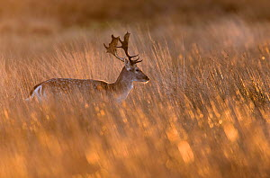 Fallow deer (Dama dama) stag walking through long grass at sunrise. Richmond Park, London, UK. January.  -  Oscar Dewhurst