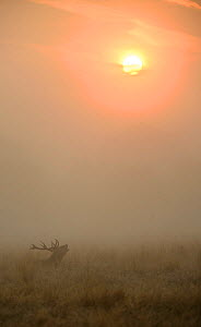 Red deer (Cervus elaphus) stag in misty conditions bellowing whilst sat down in long grass with the rising sun in the background. Richmond Park, London, UK. September - Oscar Dewhurst